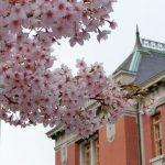 名古屋市市政資料館のオオカンザクラ