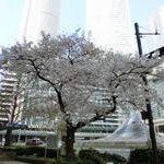 名古屋駅周辺の桜とヨンフェスナナちゃん