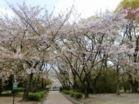 庄内緑地公園のナノハナとさくらのある風景