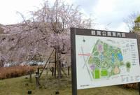 鶴舞公園のさくら
